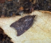 Acleris rhombana 4 Copyright: Ben Sale