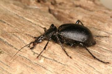 Cychrus caraboides Copyright: Peter Harvey