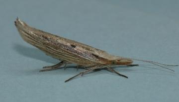 Ypsolopha nemorella Copyright: Peter Furze