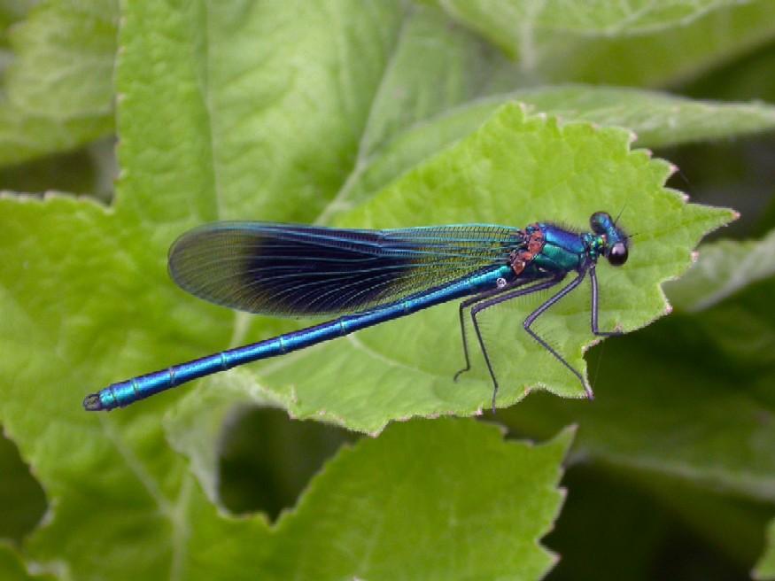 Banded Damoiselle (M)  Calopteryx splendens Copyright: Malcolm Riddler