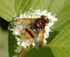 Volucella zonaria - jme7183 Copyright: John Everett