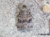 Svensson's Copper Underwing Copyright: Ben Sale