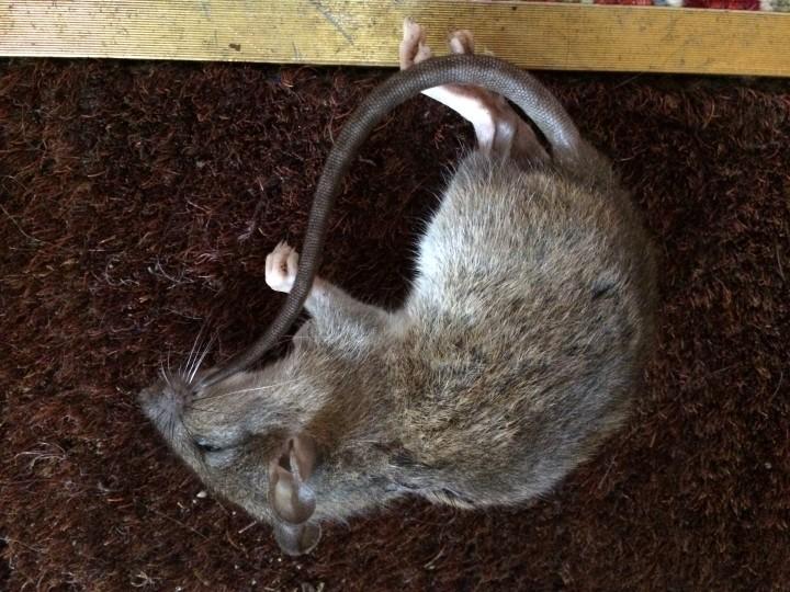 Same rat other veiw Copyright: Elisa Brady