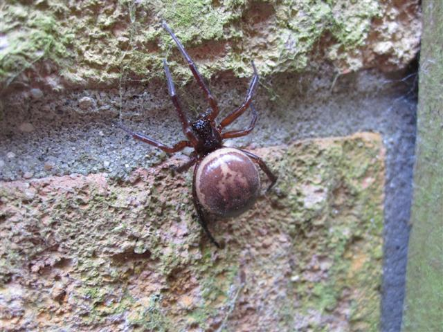 Steatoda nobilis Wix Copyright: Christopher Balchin