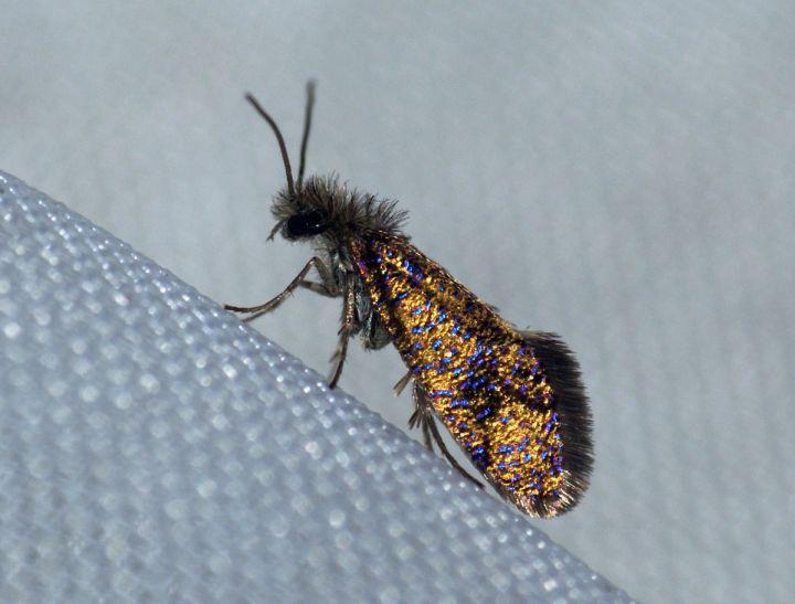 Eriocrania subpurpurella f.fastuosella Copyright: Ben Sale