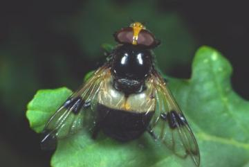 Volucella pellucens Copyright: Peter Harvey
