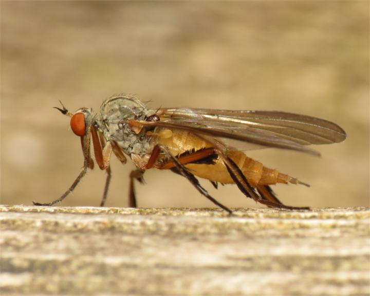 Rhamphomyia barbata female 20150605-1584 Copyright: Phil Collins