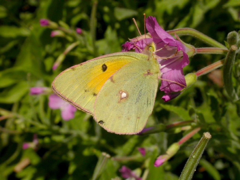 Clouded Yellow on willowherb Copyright: Malcolm Riddler