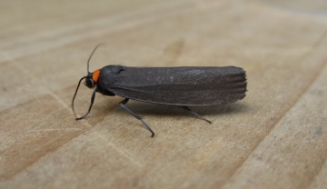 Red-necked Footman. Copyright: Stephen Rolls