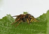 Dolichovespula media Copyright: Graham Ekins