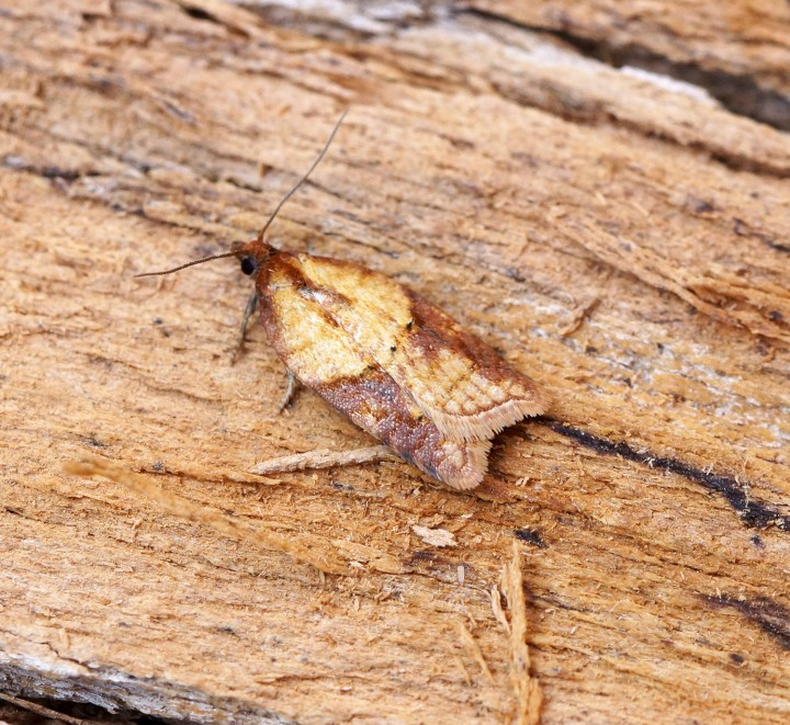 Acleris aspersana 2 Copyright: Ben Sale