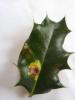 Phytomyza ilicis (leaf-mine) Copyright: Sven Michael Wair