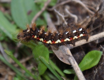 larva feeding on Sheep's Sorrel Copyright: Robert Smith