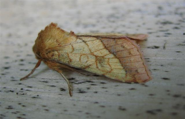 Bordered Sallow2 Copyright: Stephen Rolls