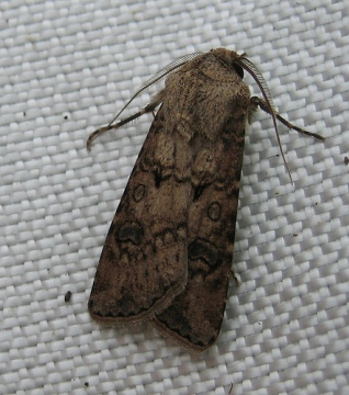 Turnip Moth 2 Copyright: Stephen Rolls
