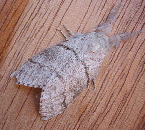 Pale Tussock. Copyright: Stephen Rolls