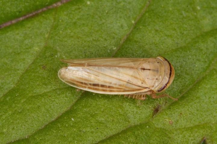 Athysanus argentarius Copyright: Peter Harvey