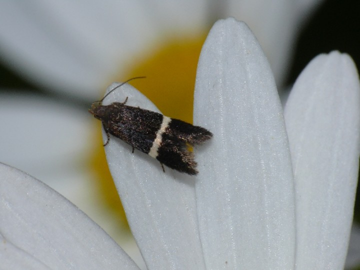 Syncopacma taeniolella Copyright: Peter Furze