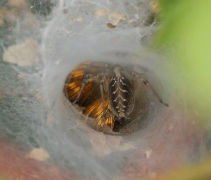 Agelena labyrinthica (with Large Skipper) Copyright: Robert Smith