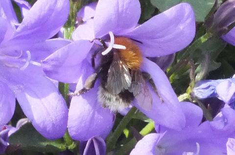 New Garden Bee Copyright: Peter Pearson