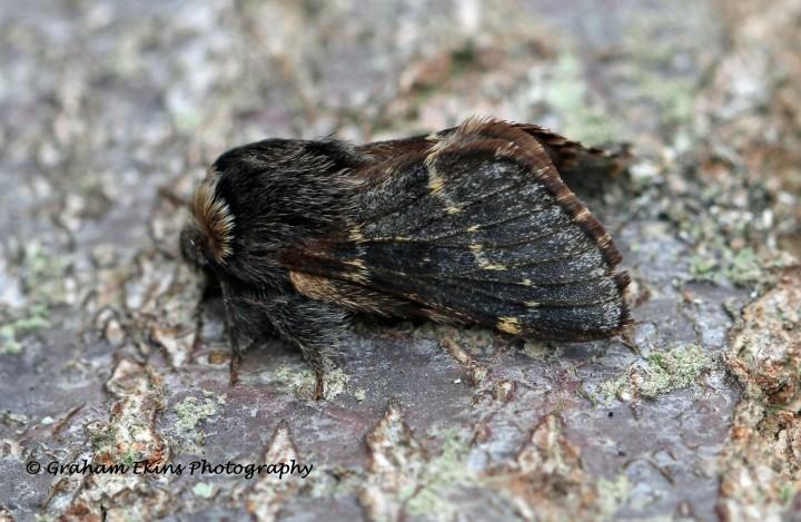 December Moth Poecilocampa populi Copyright: Graham Ekins