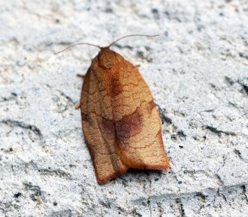 Cacoecimorpha pronubana (Female) Copyright: Ben Sale