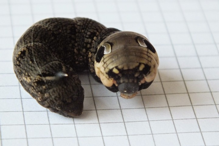 Elephant Hawkmoth caterpillar threat display Copyright: Peter Pearson