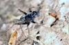 Pardosa saltans -male (8 May 2011) Copyright: Leslie Butler