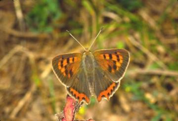 Lycaena phlaeas Copyright: Peter Harvey