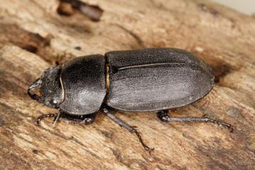 Dorcus parallelipipedus Copyright: Peter Harvey