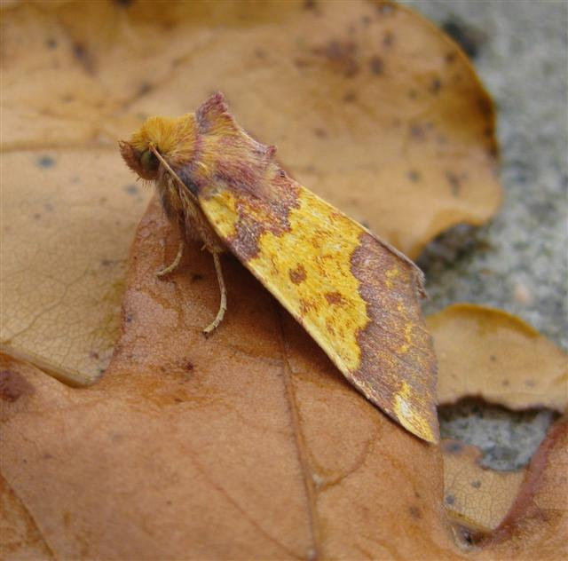 Barred Sallow 3 Copyright: Stephen Rolls
