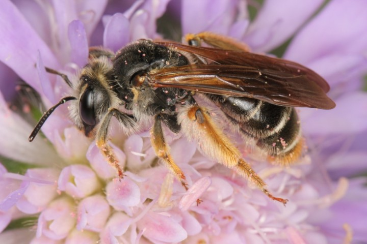 Andrena hattorfiana female2 Copyright: Peter Harvey