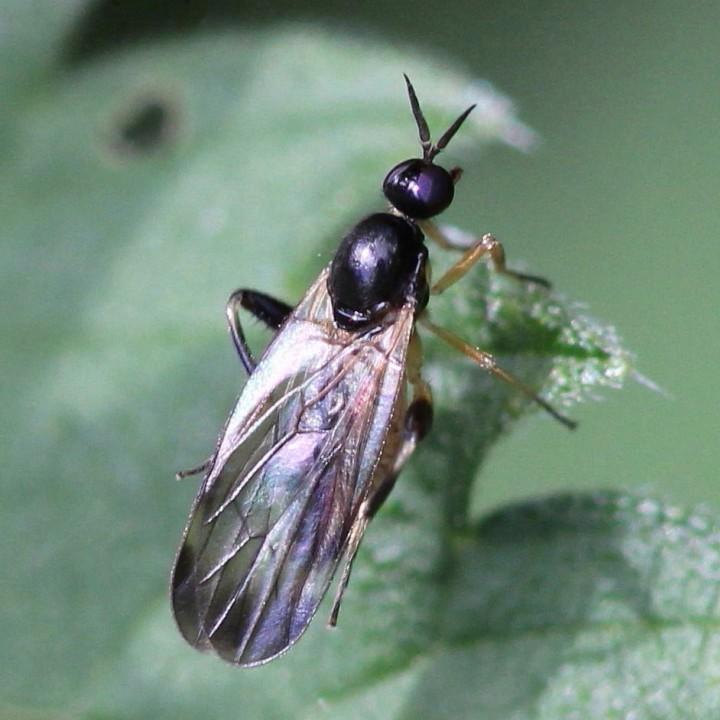 Oedalea flavipes (female) Copyright: Jeremy Richardson