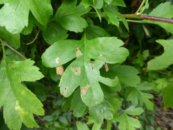 Coleophora siccifolia 3 Copyright: Stephen Rolls