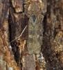 Nomophila noctuella 2 Copyright: Graham Ekins