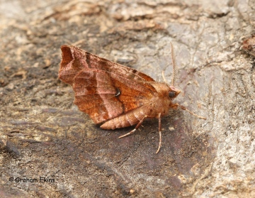 Selenia dentaria Early Thorn summer form Copyright: Graham Ekins