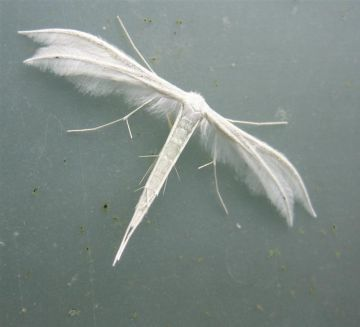 White Plume Moth Copyright: Stephen Rolls