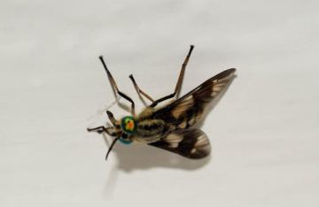 Twin-lobed Deerfly - Chrysops relictus Copyright: Ben Sale