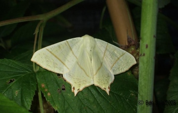 Swallow-tailed Moth 2 Copyright: Ben Sale