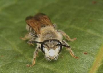 Andrena labialis