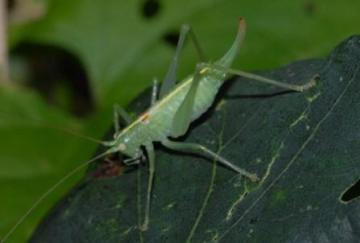 Southern Oak Bush-cricket Copyright: Ted Benton