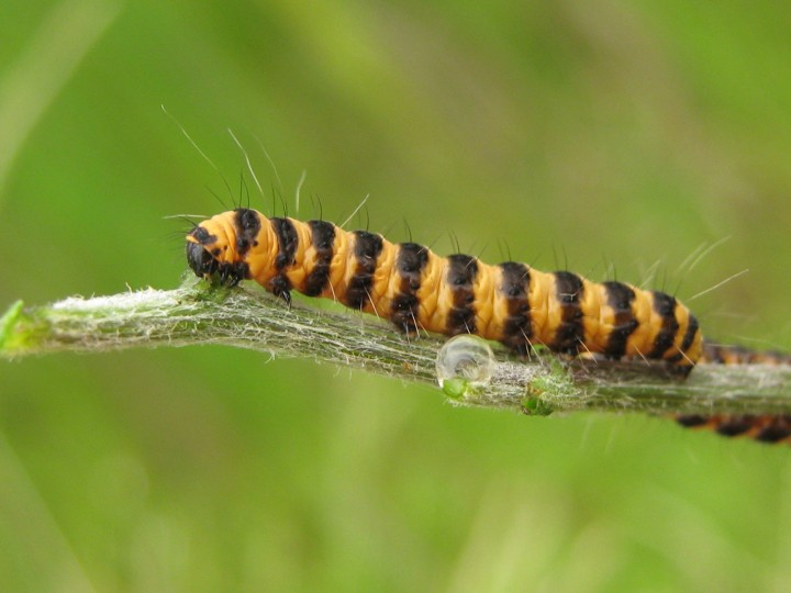 cinnabar larva Copyright: Kim Prowse