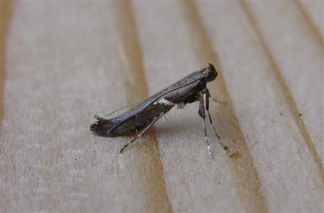 Caloptilia semifascia Copyright: Stephen Rolls