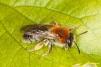 Andrena haemorrhoa Copyright: Peter Harvey