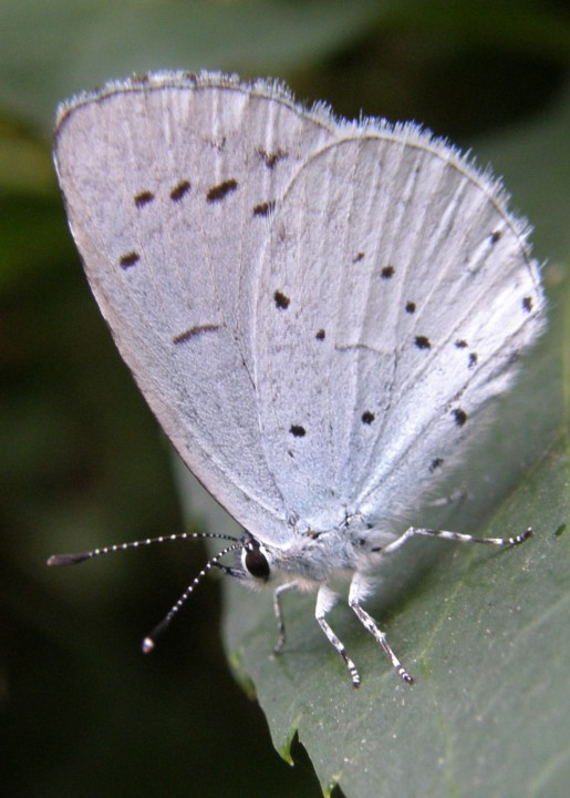 Holly Blue Copyright: Sue Grayston