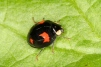 Harmonia axyridis Copyright: Peter Harvey