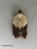 Acleris variegana 4 Copyright: Graham Ekins