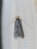 Spuleria flavicaput Copyright: Stephen Rolls