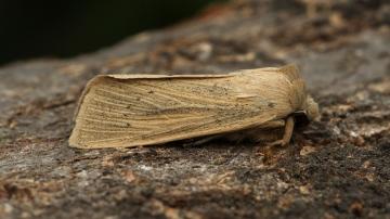 Large Wainscot  Rhizedra lutosa 2 Copyright: Graham Ekins