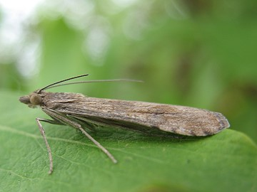 Nomophila noctuella Copyright: Mark Yeates
